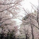 関西大学の桜
